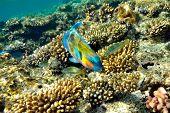 underwater image of tropical fish (bullethead parrotfish - scarus chlorurus sordidus)