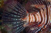 An incredible lionfish