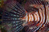 An incredible lionfish