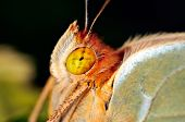 butterfly close-up portrait  (argynnis pandora)