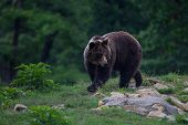 Brown bear walking to the forest