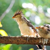 cuckoo (guira guira) sitting on branch