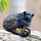 stock photo of marmosets  - Goeldi - JPG