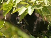 Baby mantled howler monkey (Alouatta palliata)