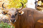Banteng Bull