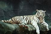 stock photo of tiger eye  - Female wild white tiger from Thailand taken in a sunny day - JPG