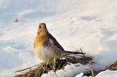 thrush outdoor in winter (Turdus Obscurus)