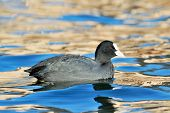coot on the lake (fulica atra)
