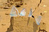 butterflies outdoor (polyommatus icarus)