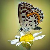 borboleta no habitat natural (scolitantides orion)