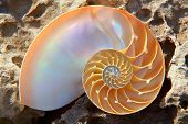 nautilus shell section on a rock
