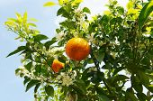 orange tree branch with fruits and flowers in the sunshine