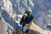 Condor At Colca Canyon Sitting,peru,south America. This Is A Condor The Biggest Flying Bird On Earth