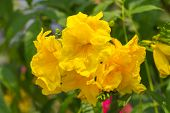 image of trumpet flower  - Tecoma stans or Yellow Trumpetbush the beautiful yellow flower - JPG