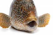 Close up of a grouper fish on white background