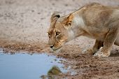 Lioness (Panthera leo) drinking water at a waterhole, Kalahari, South Africa