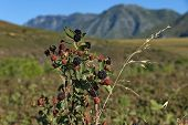 Blackberry bush in Swellendam area