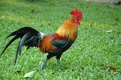 Walking Rooster