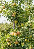 Ripening Apples On The Tree