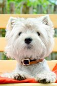 foto of west highland white terrier  - a west highland white terrier outdoors closeup - JPG