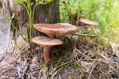 Lactarius Rufus Mushrooms