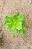 stock photo of rich soil  - fresh farmed vegetable on a rich soil - JPG