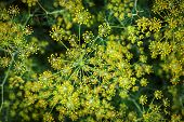 Blooming Dill Background