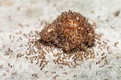 stock photo of fire ant  - Close up of red imported fire ants eating meat - JPG
