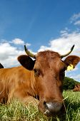 Face of a resting cow on a green field.