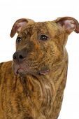 Staffordshire terrier dog on a clean white background