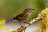 stock photo of red robin  - Female Himalayan Bluetail Or Himalayan Red - JPG