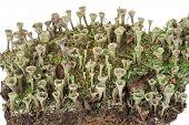 Lichen: Cladonia fimbriata