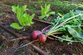 Vegtable garden - Radish and Lettuce