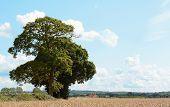 Oak Trees Border A Wheat Field In Kent