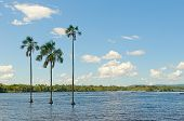 image of canaima  - Three palm trees in Canaima lagoon Venezuela - JPG