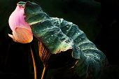 Abstract Of Lotus Leaf Protect Lotus Flower