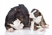 picture of puppies mother dog  - english bull terrier dog playing with a puppy - JPG