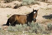 pic of open grazing area  - free roaming mustang mare in the Pryor Mountain wild horse range in Wyoming - JPG