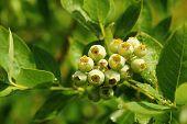 Unripe Blueberries With Dew