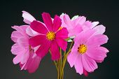 Multicolored Garden Cosmos Flowers On Dark Background
