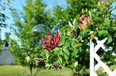 pic of honeysuckle  - Bubble resting gently on a pretty and delicate Honeysuckle flower - JPG