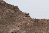 Mountain Goat On A Hillside