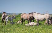 Goup of Konik horses