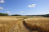 Golden Barley And Maize