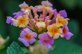 picture of lantana  - Lantana or Wild sage or Cloth of gold or Lantana camara flower in garden