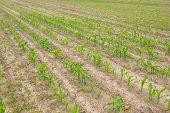 Rows Of Corn Plants Growing In The Field