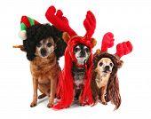 three chihuahuas dressed up for christmas