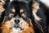 Black And Brown Colors Pekingese Pekinese Peke Dog