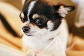 image of chihuahua  - Chihuahua dog - JPG
