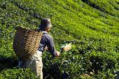 Picker harvesting tea leaves.